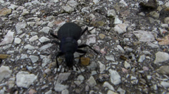 Large Beetle Walking Stock Footage