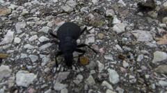 Large Beetle Walking - stock footage