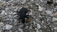 Stock Video Footage of Large Beetle Walking