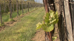New stems with shoots in vineyard Stock Footage