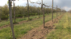 Pruned grape vines in spring Stock Footage