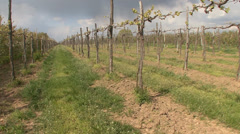 Young new stems in spring vineyard Stock Footage