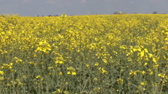 Canola field waving Stock Footage