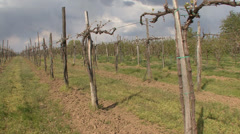 Pruned vineyard with new stems Stock Footage