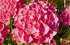 Very beautiful red hydrangea in full bloom Stock Photos