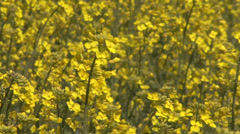 Canola rapeseed field Stock Footage