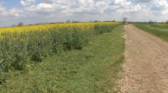 Canola field beside gravel road - stock footage