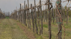 Pruned vineyard with new shoots Stock Footage