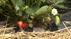 Strawberry cultivation Stock Footage