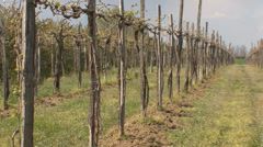 Pruned grapevines Stock Footage