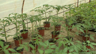 Stock Video Footage of The seedlings in the greenhouse tomato cucumber pepper