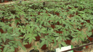Stock Video Footage of The seedlings in the greenhouse tomato cucumber pepper 2