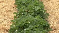 Strawberry plasticulture, zoom out Stock Footage