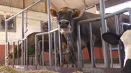 Cow in a farm Stock Footage