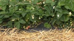 Raised beds strawberries Stock Footage