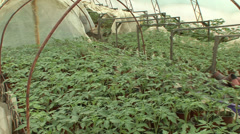 Greenhouse full with vegetable seedlings Stock Footage