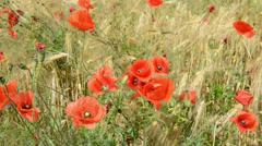 Poppy field in the wind Stock Footage