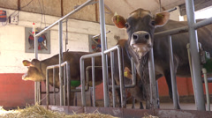 Stock Video Footage of Cow chewing hay in a farm