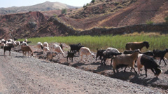 Goats in Zat Valley, High Atlas Mountains, Morocco, Africa Stock Footage
