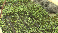 Stock Video Footage of The seedlings in the greenhouse tomato cucumber pepper 16
