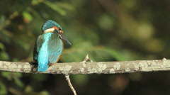 Common Kingfisher /  Martin-pêcheur / Eisvogel / Alcedo atthis 01 Stock Footage