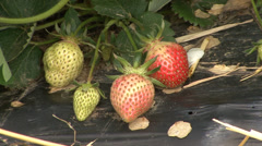 Strawberry fruits on plastic foil Stock Footage