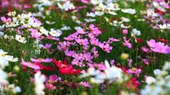 Hd flowers in windy field Stock Footage
