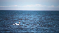Nice day for swans in gulf of riga, baltic sea. Stock Footage