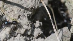 Wood ants and their  anthill Stock Footage