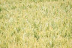 Wheat field in oregon Stock Photos