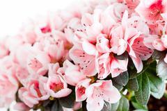 Blossoming azalea of a grade of mevrouw gerard kint close up Stock Photos