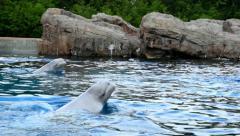Beluga Whales Swimming  Stock Footage