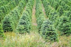 christmas trees growing in oregon's willamette valley - stock photo