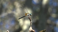 Stock Video Footage of Florida Dragonfly Flys Away From Tree Branch 4K