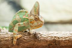a veiled chameleon lizard - stock photo