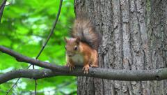Wild young squirrel sitting on a tree branch in summer forest Stock Footage