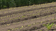 Young corn sprouts Stock Footage