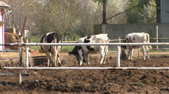 Cows are moving in an open area of the farm - stock footage