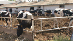 Cow farm, Holstein cattle Stock Footage