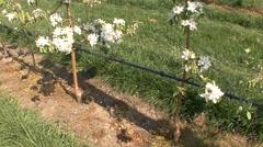 Apple tree burgeons Stock Footage