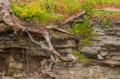 tree roots in shale - stock photo