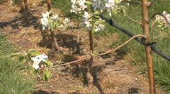 Apple stems in bloom Stock Footage