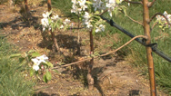 Stock Video Footage of Apple orchard in bloom modern 6