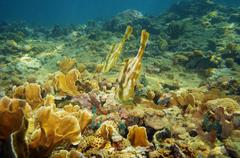 pair of orange filefish in a coral reef - stock photo