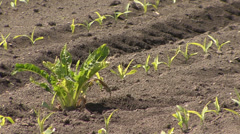 Weeds in young corn field Stock Footage