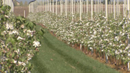 Stock Video Footage of Apple orchard in bloom modern 16