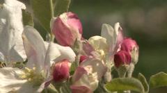 Apple tree buds Stock Footage