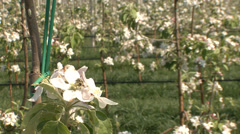 Young apple orchard in spring Stock Footage