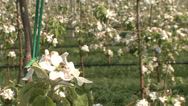 Stock Video Footage of Apple orchard in bloom modern 11