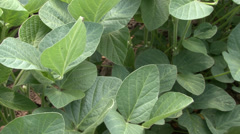 Young leaves of soybean - stock footage